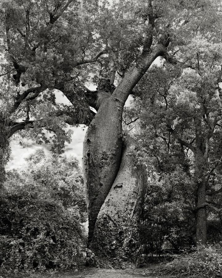 най-старите дървета на света (снимки)