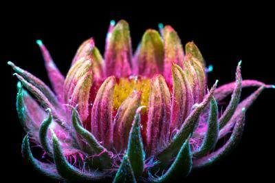 """Да заснемеш """"невидимото"""" сияние на цветята"""
