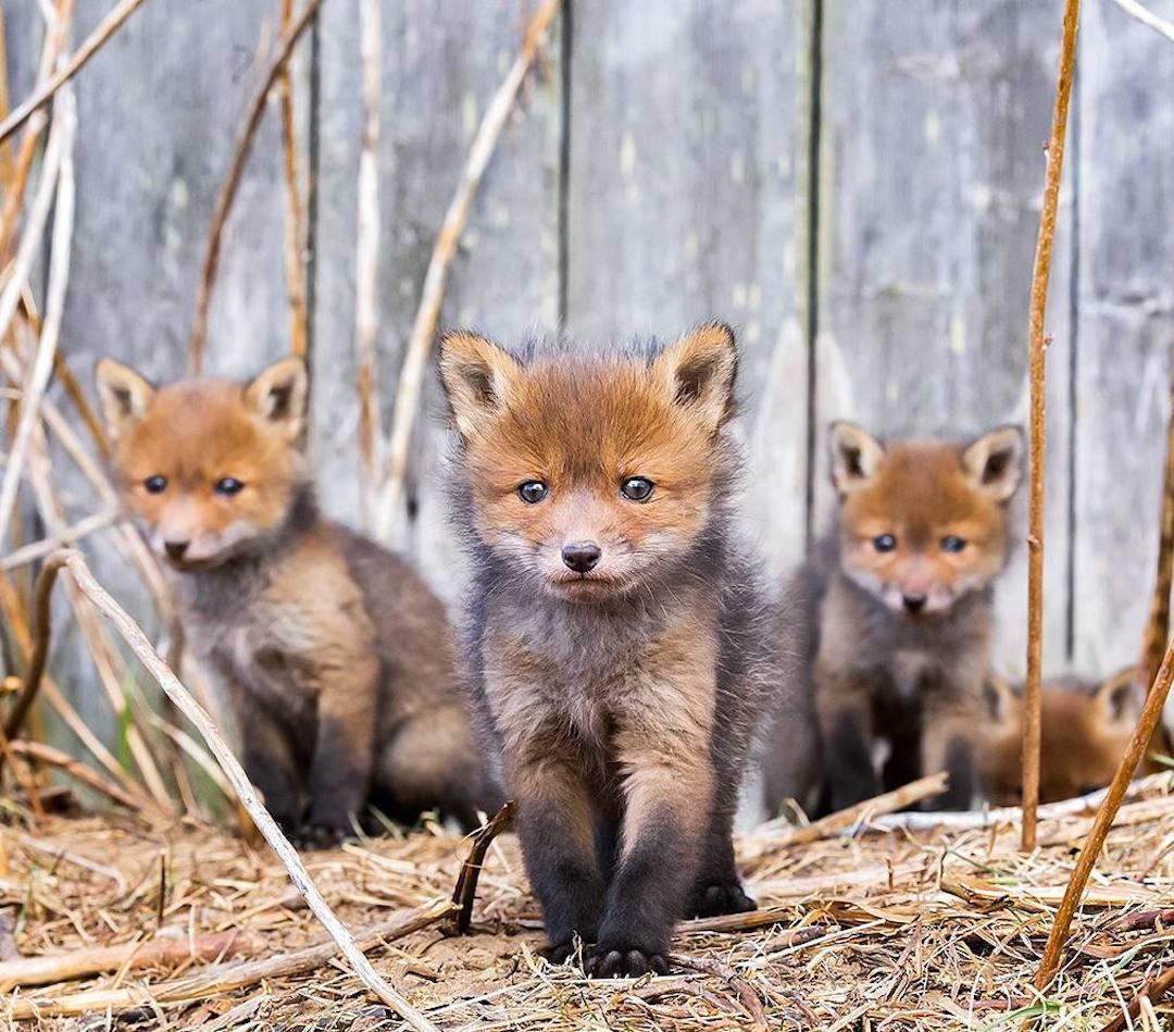 силната индивидуалност, отразена в микро израженията на... лисиците (снимки)