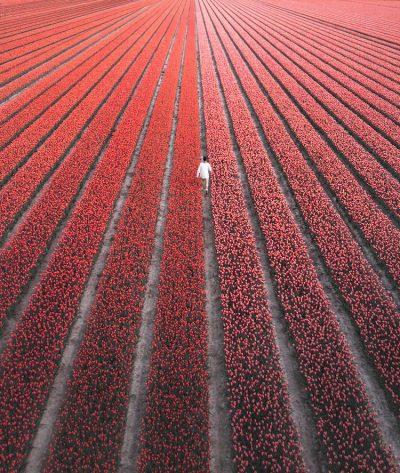 """Как изглеждат 7 милиона холандски лалета, цъфтящи наведнъж? Двойка пътешественици, казваща"""" Да"""" на всичко, отговаря с чудните си фотографии"""