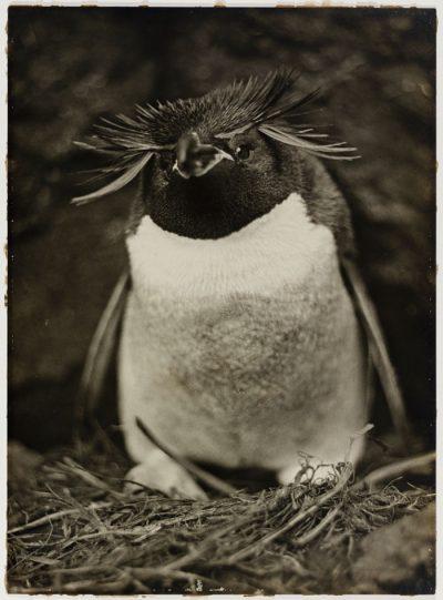 Вълнуващи (и доскоро забравени) снимки от първата австралийска експедиция до Антарктида
